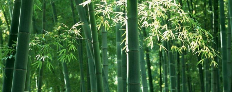 庭院竹和四季竹的区别