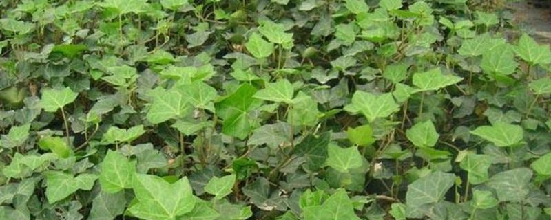 长春藤怎么养才能更旺盛