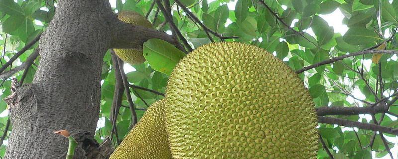 菠萝蜜怎样剪枝才高产