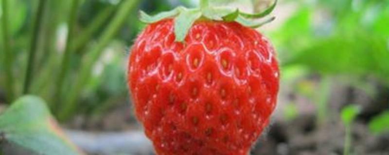 露天草莓最佳移栽时间