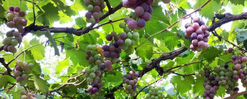 葡萄浇水最佳时间