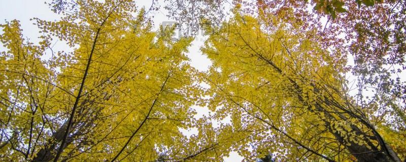 银杏树叶子发黄及枯萎