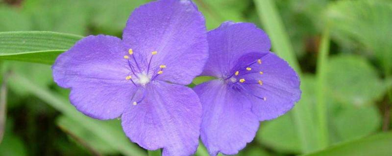 紫露草怎么修剪