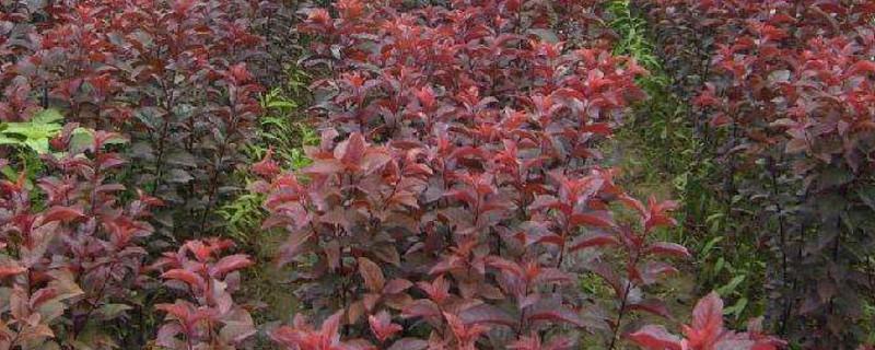 红色叶子的树结的果子