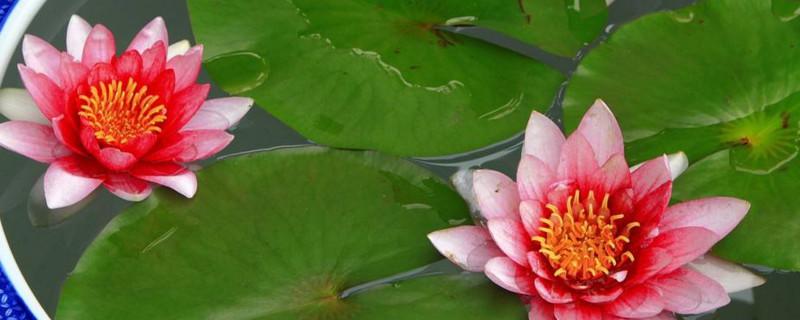 水莲花怎么养盆栽水培