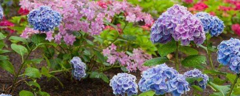 绣球花和无尽夏的区别