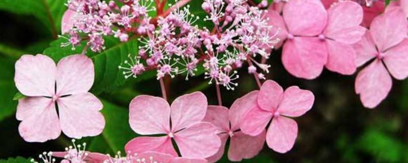 绣球花品种图片及名字