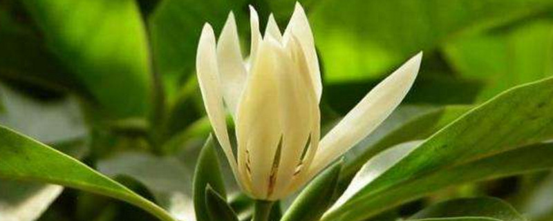 缅桂花可以种在家里吗