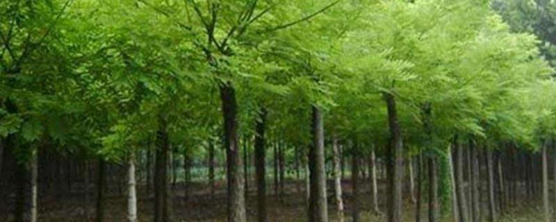 潍坊市树是什么树