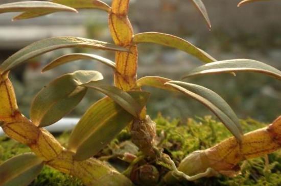 石斛兰花怎么养殖