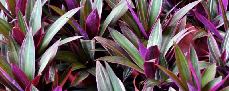 紫鸭跖草怎么扦插