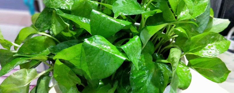 绿萝肥料淘米水