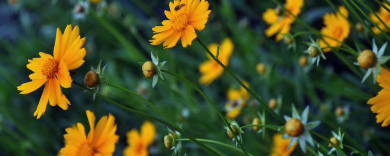 金鸡菊有毒吗
