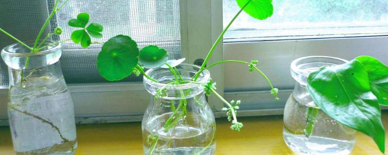 铜钱草的根茎怎么栽种
