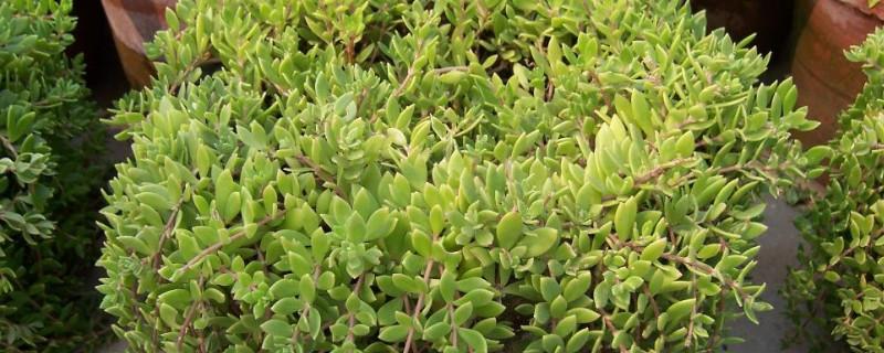 長在石頭縫里的植物