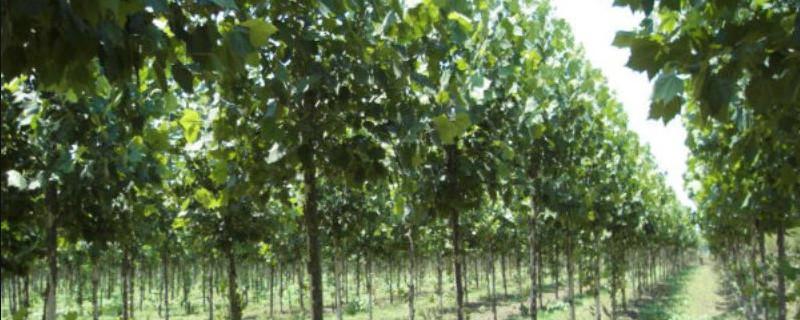 青铜树作用