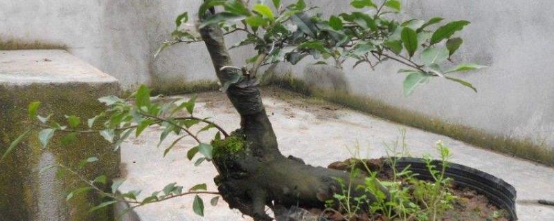 黄荆树的俗名是什么