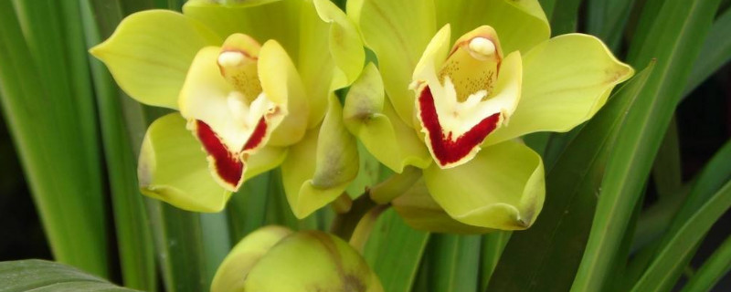 兰花开花是什么兆头