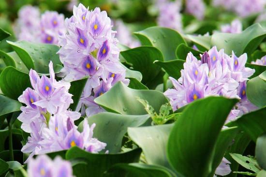 凤眼莲是水生生物还是陆生生物