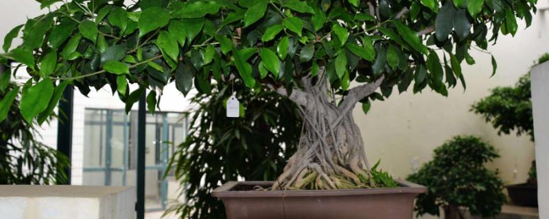 壮说明榕树长得怎样