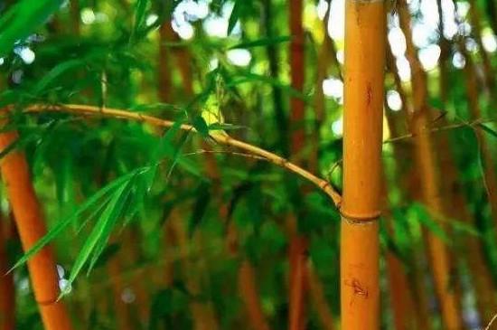 多彩竹怎么养
