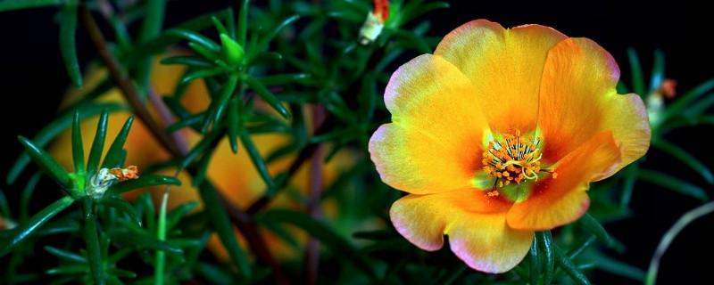 太阳花用深盆还是浅盆