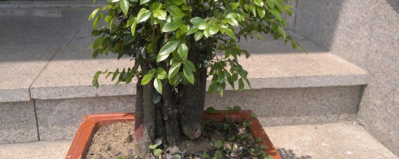 小叶紫檀树苗