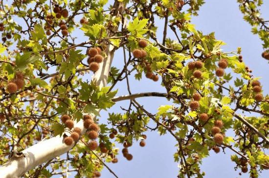悬铃木有什么之称