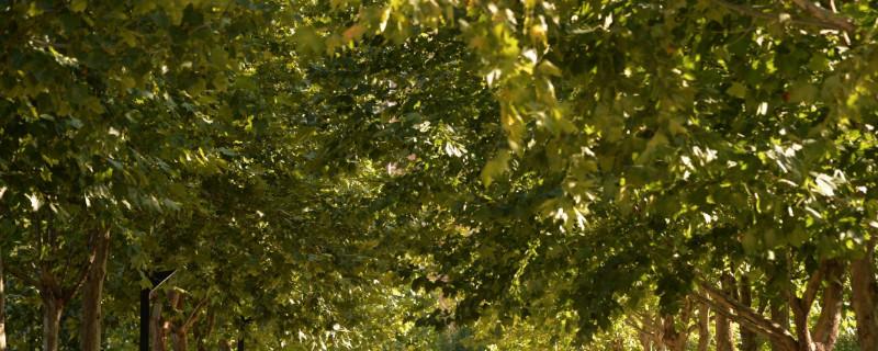 杨树的图片是什么样的