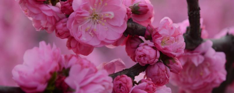 桃花树叶像什么