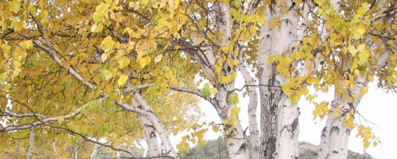 桦树生长在南方还是北方