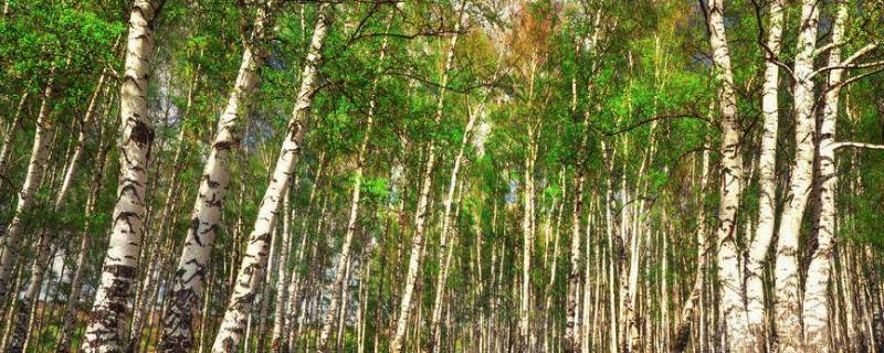 桦树的叶子像什么?