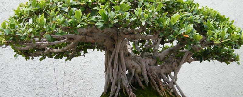 榕树的树上叶像什么