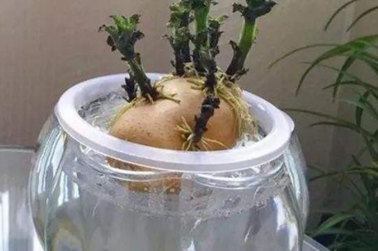 水培土豆需要切开吗