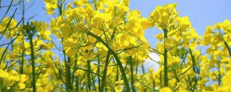 油菜花靠什么传播种子