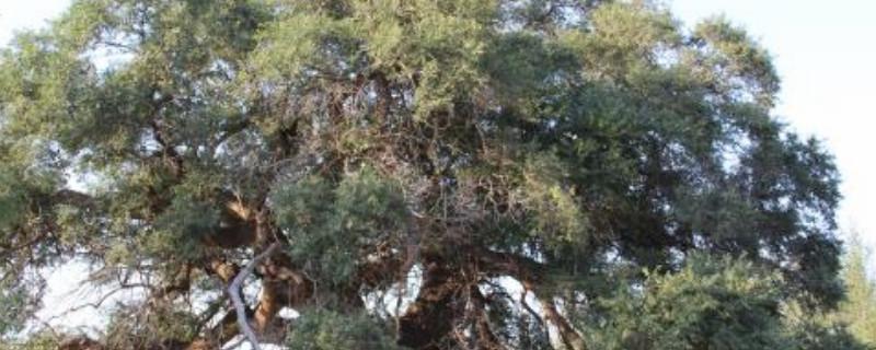 治死大榆树偏方