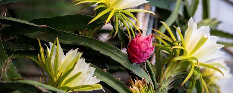 火龙果的花有什么功效