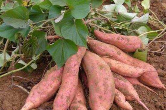 红薯生长期是多少天