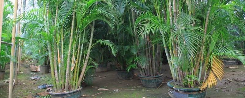 散尾葵可以水培吗