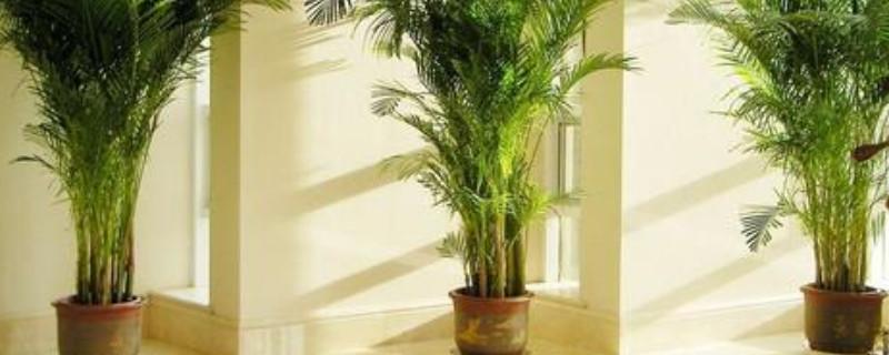 散尾葵可以吸收甲醛吗