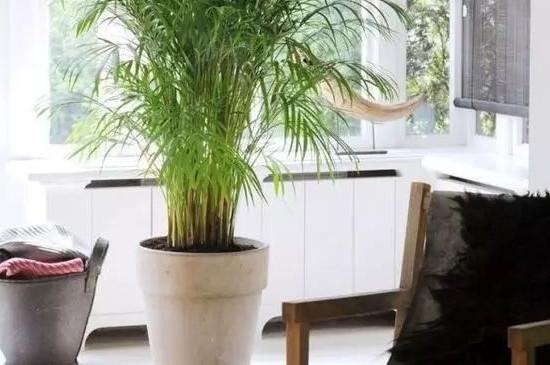 散尾葵可以过冬吗