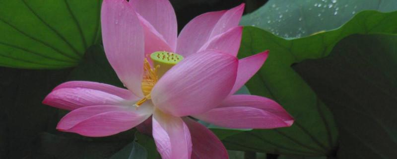 荷花和菊花怎样传播种