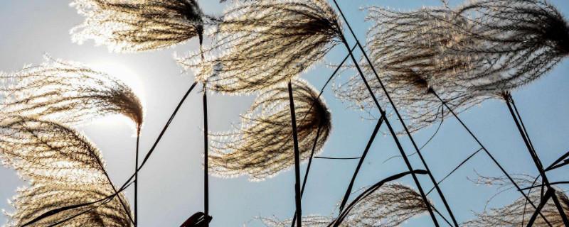 荻花和芦苇花的区别