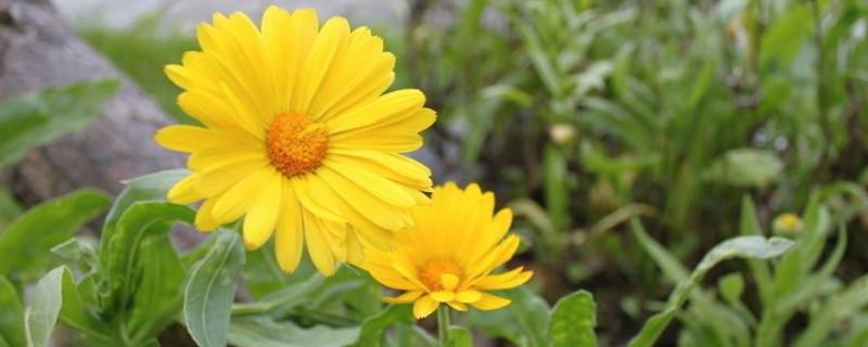 菊花里面的小黑虫