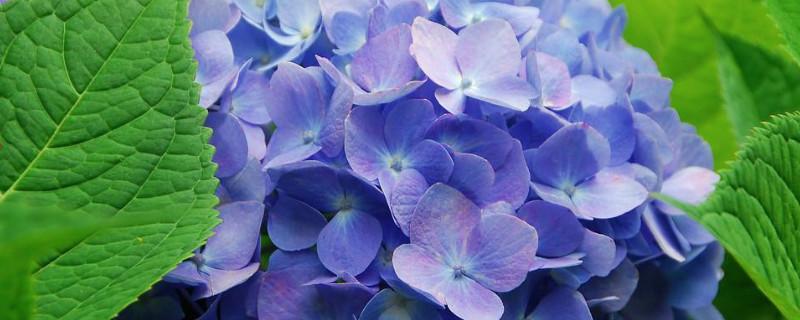 蓝色的花图片及名称