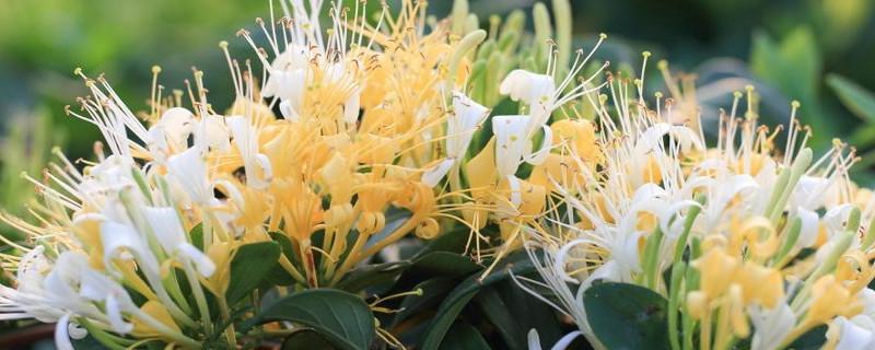 金銀花是涼性還是溫性