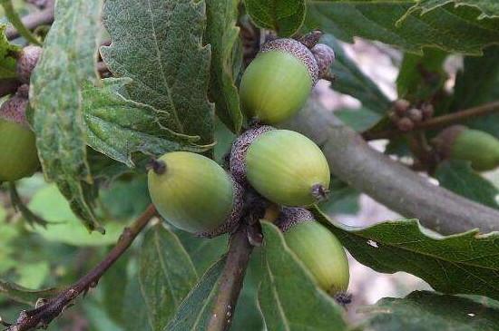 麻栎树果实怎么吃