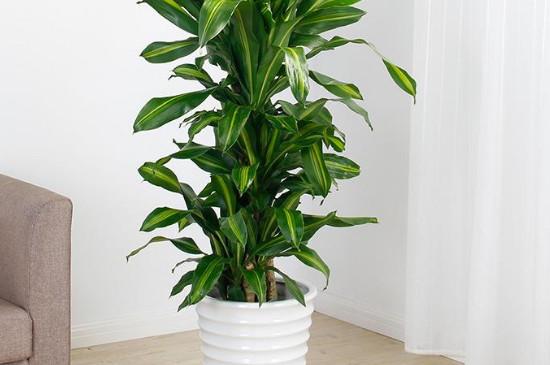 巴西铁树可以放客厅吗