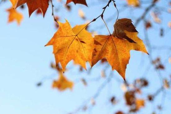 为什么秋天的树叶会变黄