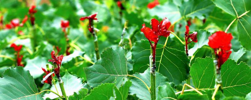 冠红杨可以插扦栽培吗
